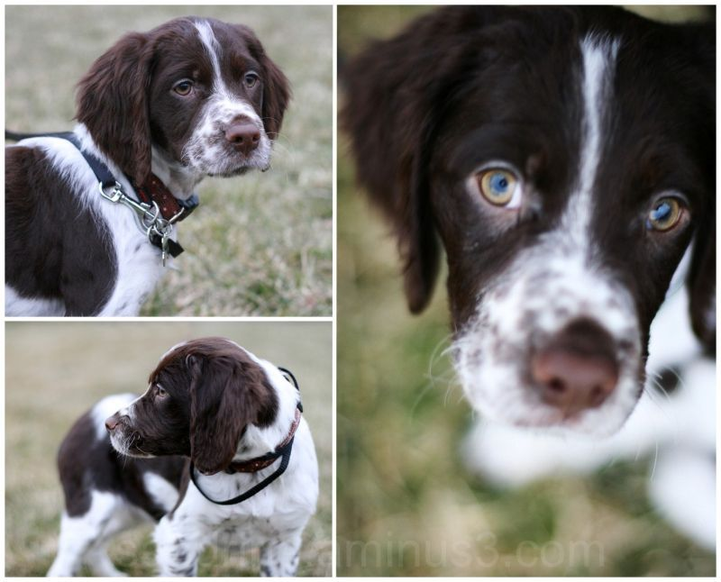 More Pictures Of Our New Pup Brittany Dog Brittany Spaniel