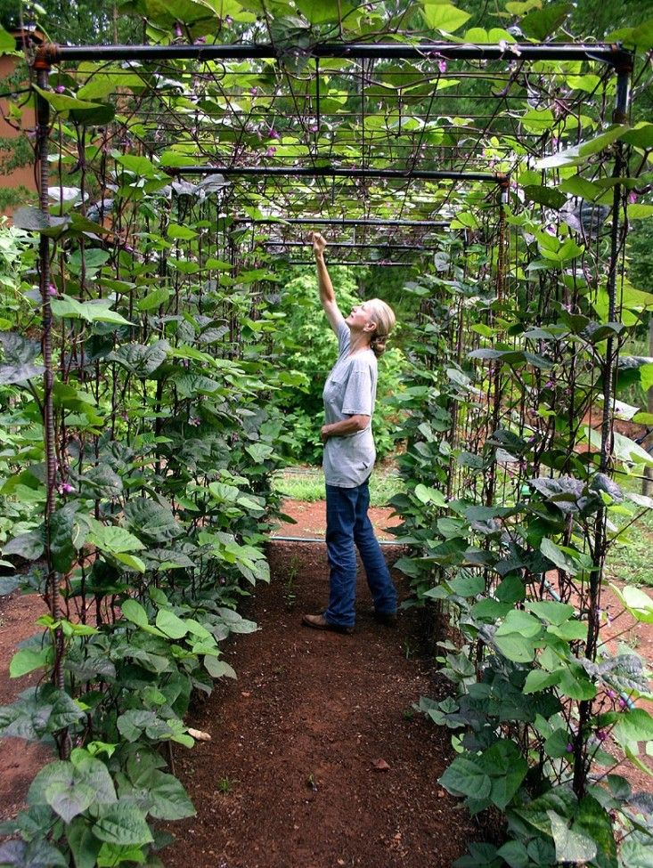 Vegetable garden design diy bean trellis vegetable for Indoor gardening green beans