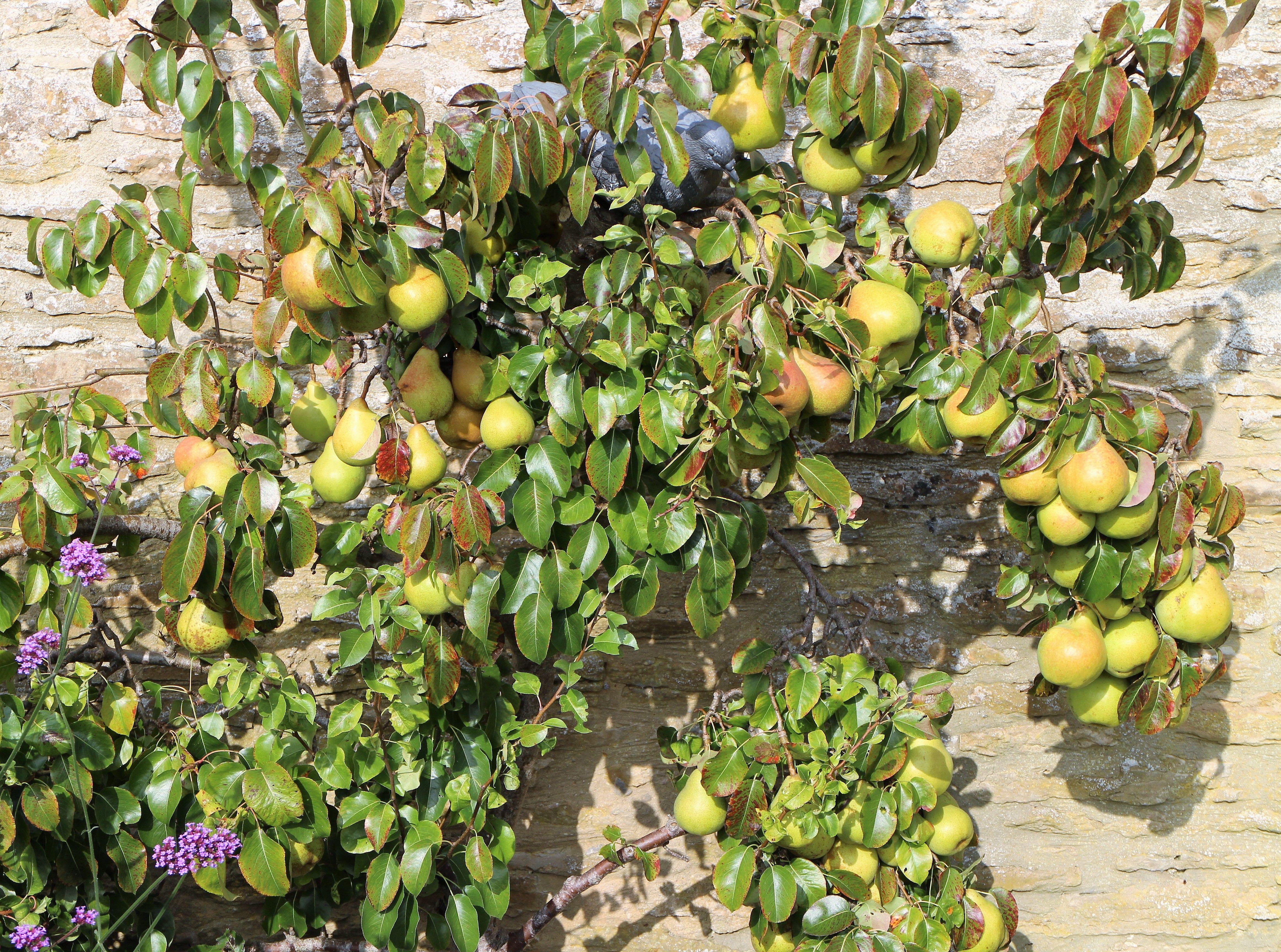 Pin By Ashridge Nurseries On Training Fruit Trees Fruit Trees Pear Trees Plant Order