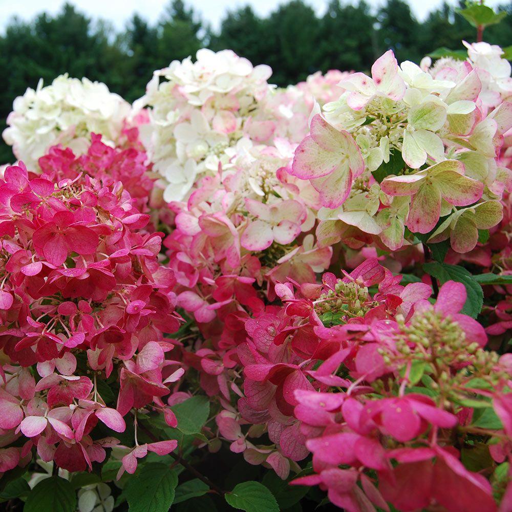 Hydrangea Paniculata Diamond Rouge Hydrangea Paniculata White Flower Farm Evergreen Flowering Shrubs