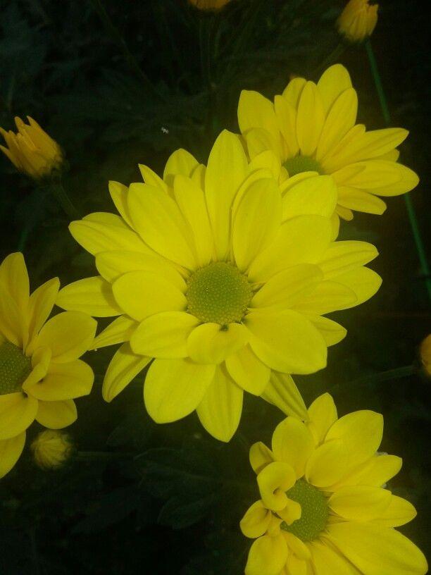 Bunga Krisan Kuning Menanam Teh Bunga Krisan Bunga