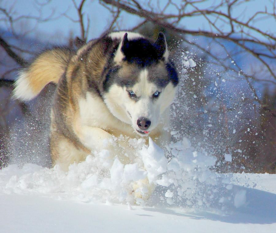 Cold Weather Safety For Dogs Insights From A Sled Dog
