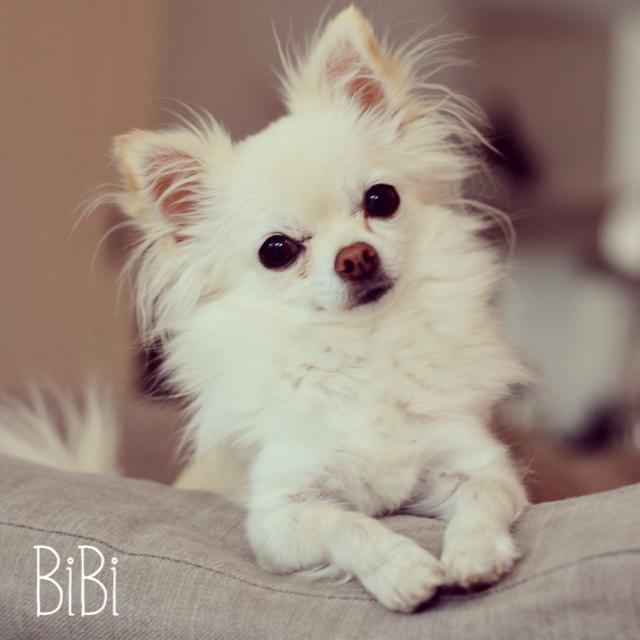 Chihuahua Bibi. Crème langhaar! 5 jaar oud. Follow her on