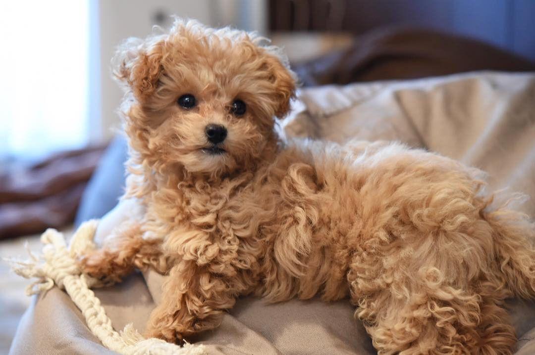 Chó Poodle lai Chihuahua thường có kích thước rất nhỏ
