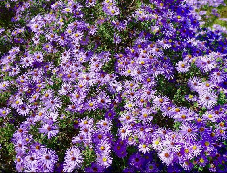 Aster Raydons Favorite Blue With Yellow Cemter Blooms From August To October These Smell Heavenly And Grown In A Bus Plants Fall Plants Pollinator Plants