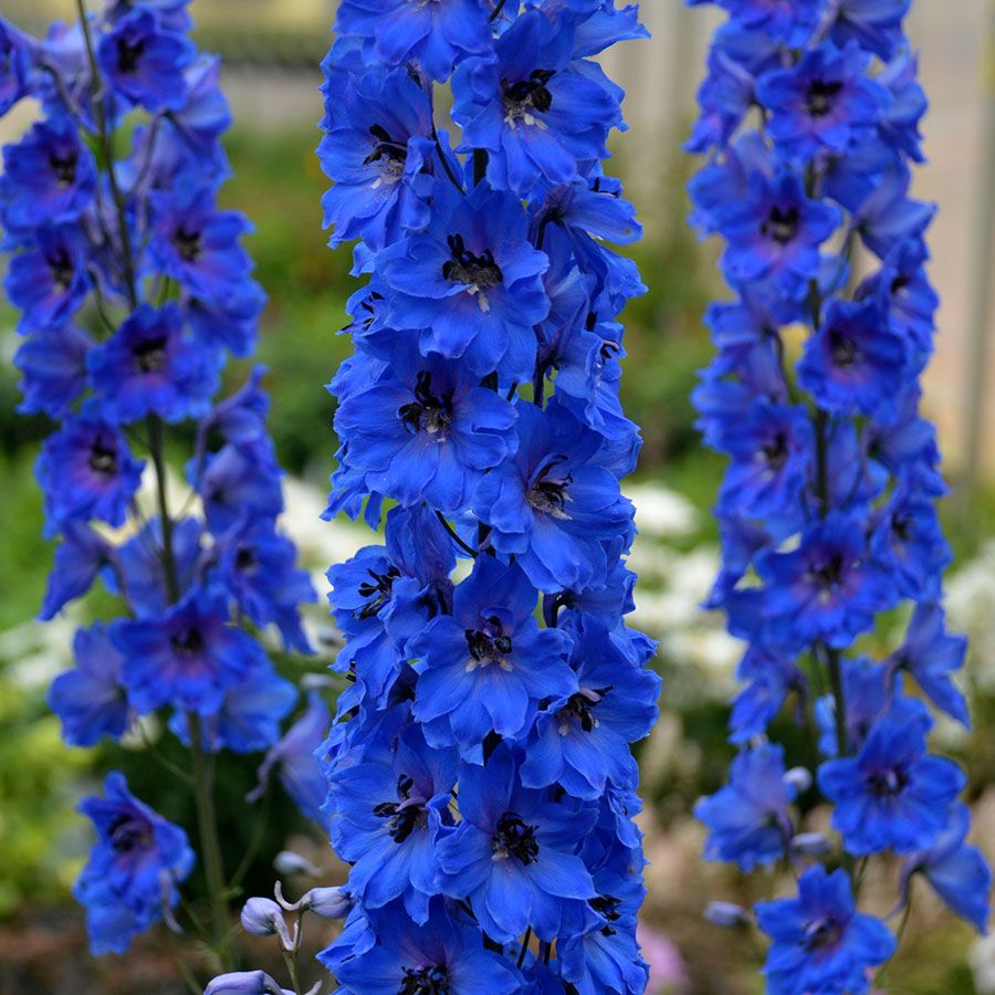 Delphinium Million Dollar Blue With Images Flower Garden