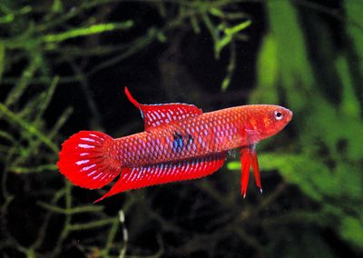 Wild betta betta fish pinterest betta fish and for Wild betta fish