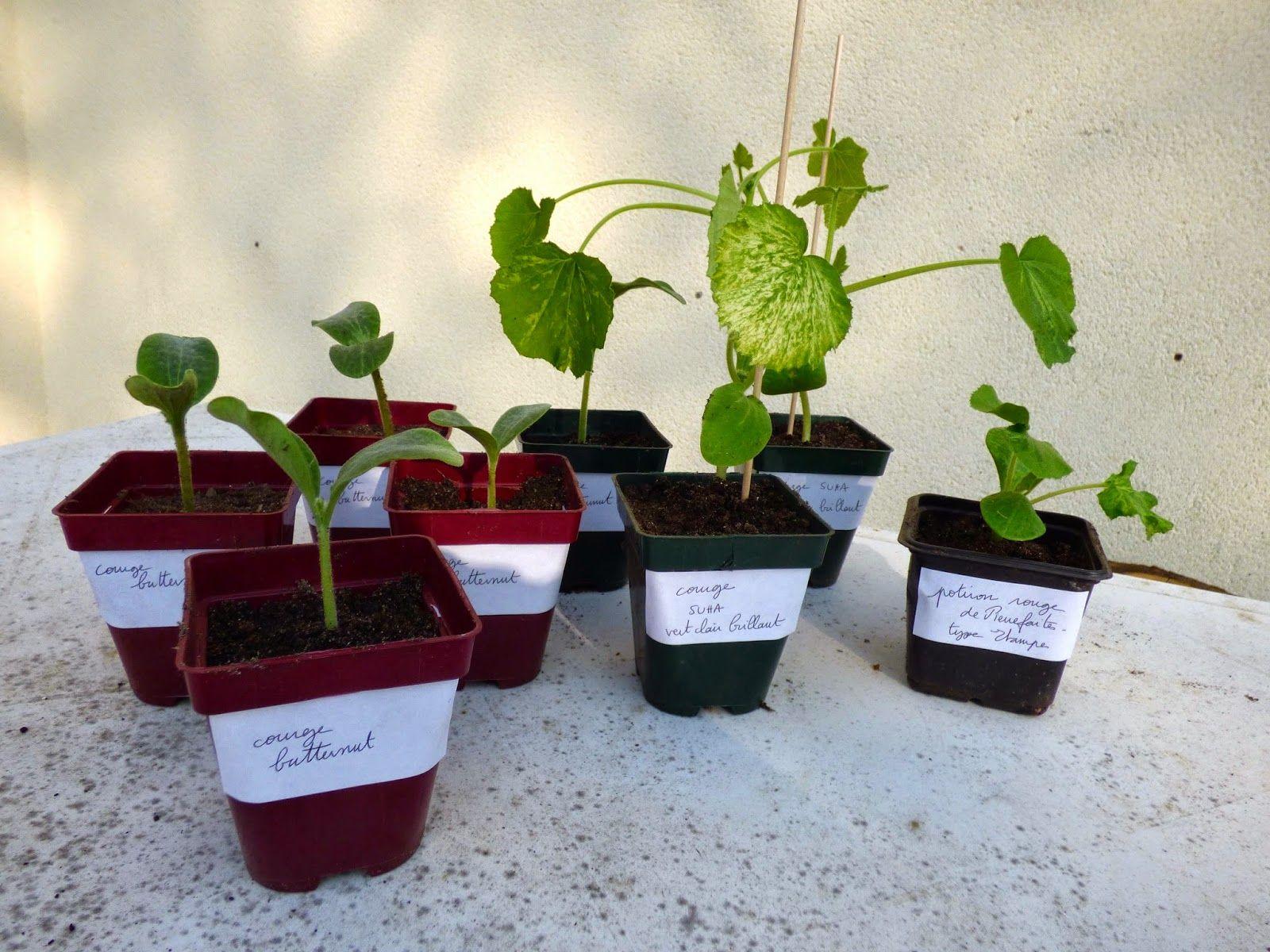 Jardiner Le Défi Potager 4 rempoter menthe, plants de