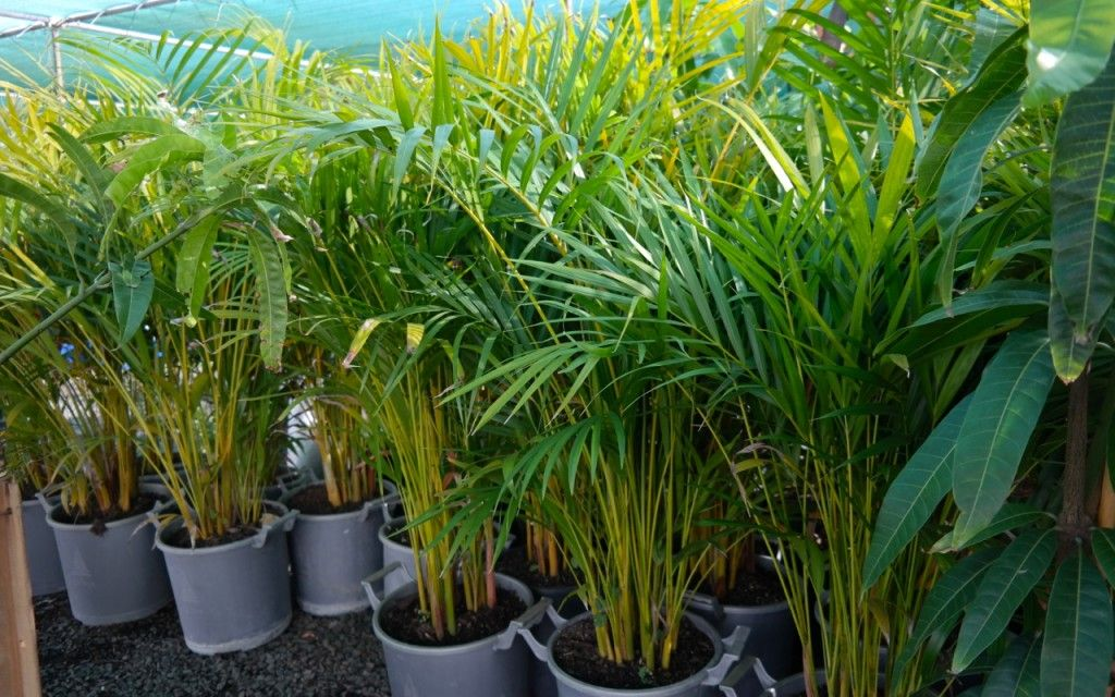Golden cane palm lakeside plants nursery plants