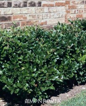 Japanese Privet Backyard Plants Outdoor Trees Backyard Trees