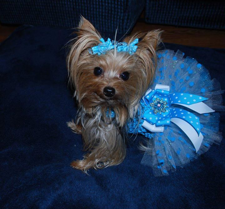 Priceless Yorkie Puppy Michigan Breeder Specializing In Teacup
