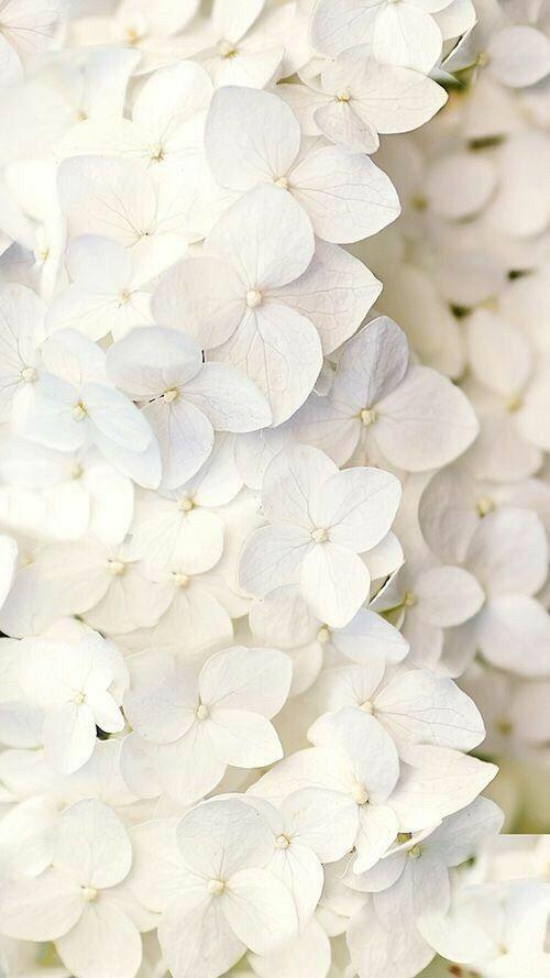 Epingle Par Lydia Sur Hortensias Fond D Ecran Fleur Blanche Papier Peint A Fleurs Papier Peint Blanc