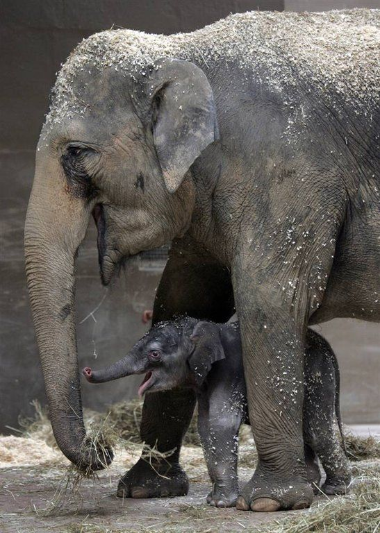Mama's boy Phoebe and her unnamed baby boy elephant play together in their enclosure at the Columbus Zoo and Aquarium in Ohio.