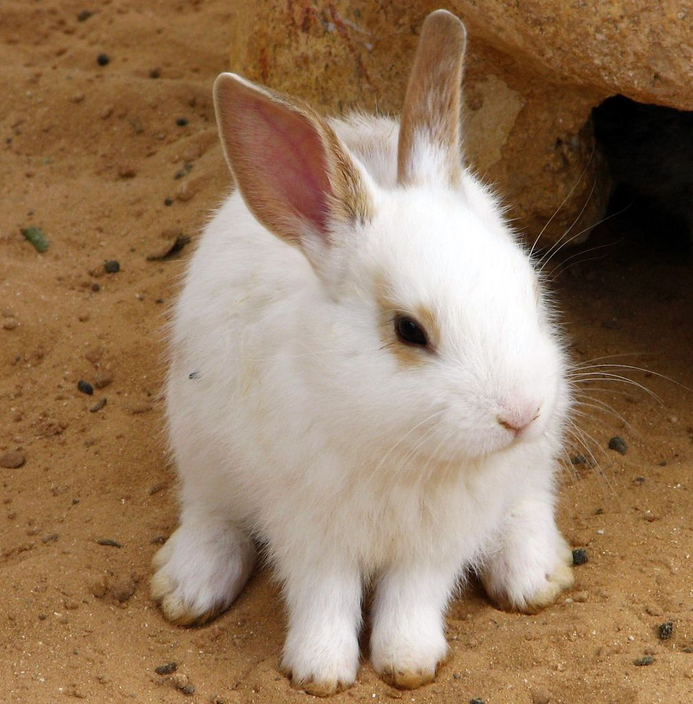 White Rabbit rabbits bunny Pet bunny, Pet rabbit