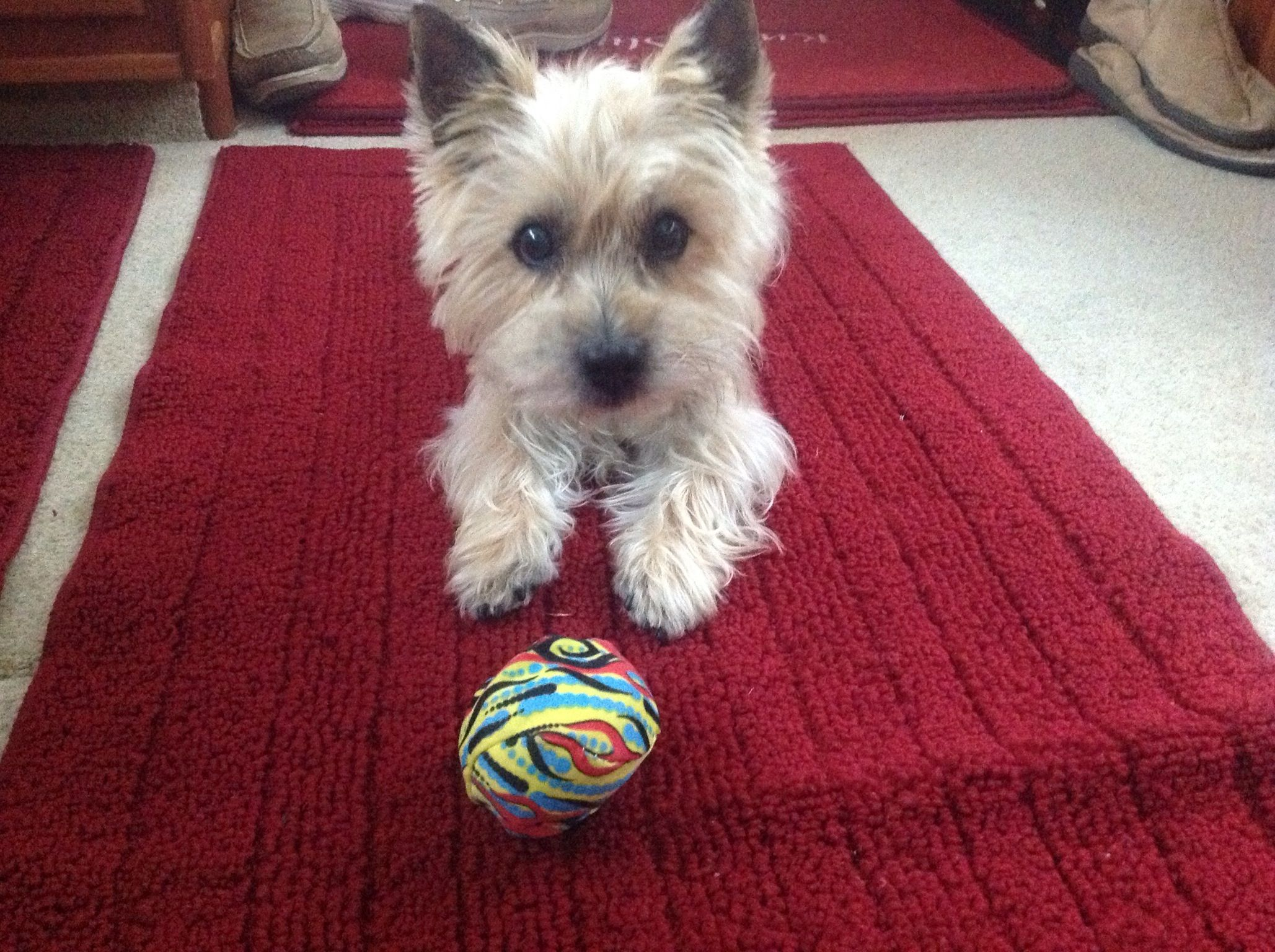 Simple Cairn Terrier Ball Adorable Dog - e0a296c49150a1713064bbfb394b91fd  Graphic_383466  .jpg