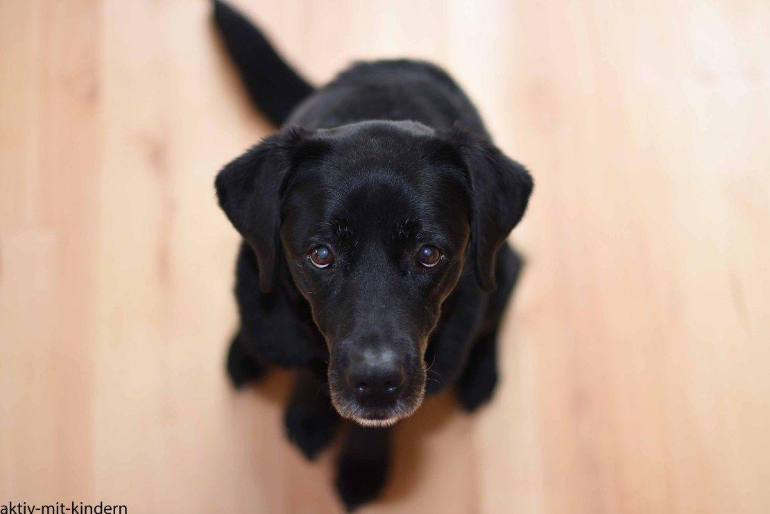 Schwarzer Labrador Retriever Aus Arbeitslinie Familienhund