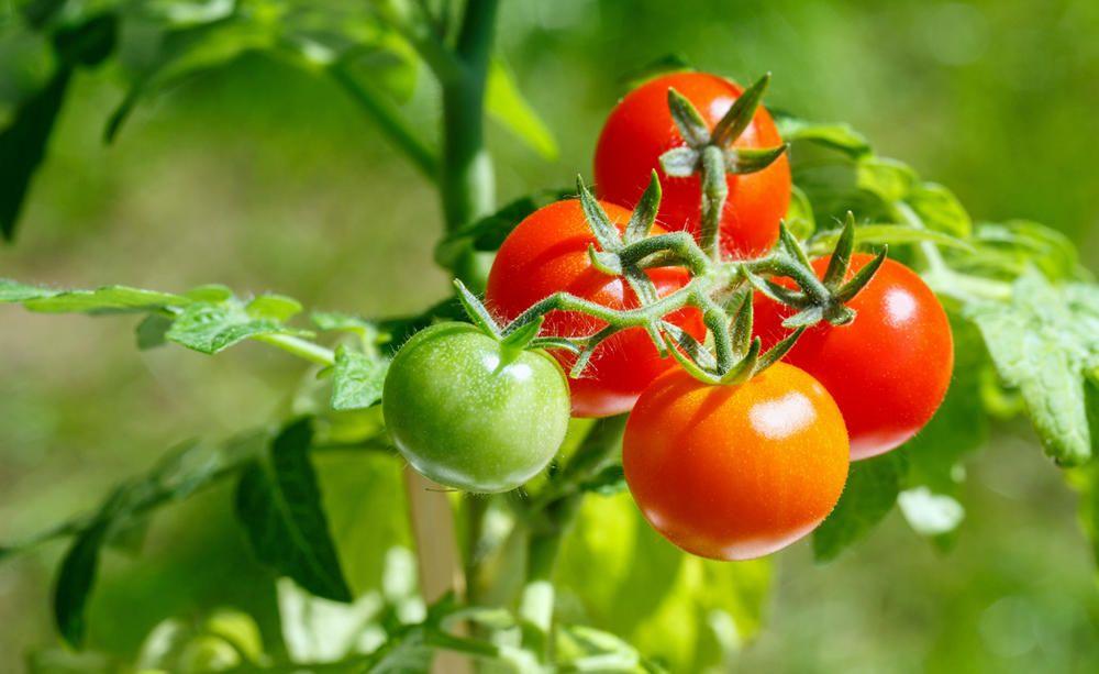 Tomatenpflege 6 Profitipps Tomaten Pflanzen Tomaten Garten Pflanzen