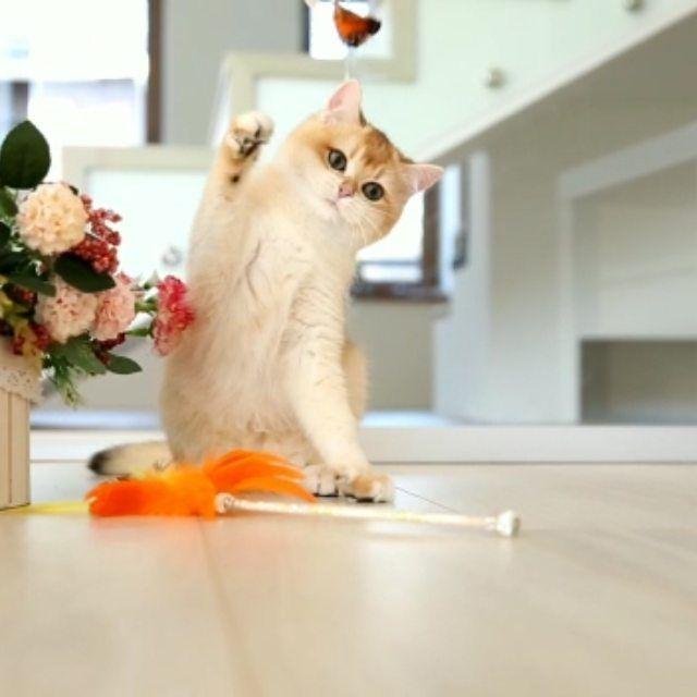 Вот такая яркая лисичка  . Galeksy's Golden Heiley ny12 . AVAILABLE  . -  🦊Вот такая яркая лисичка 🦊 . 💜Galeksy's Golden Heiley ny12💜 . 🔥AVAILABLE 🔥 . #bestkitten #best_cat #catblueeyes #britishlonghairkitten #loghaircat #exellent_kittens #kittens_of_world #kittens #instacatsgram #instakotiki #meow #meow #meow #meow #meow #meow #meow #meow #meow #mylovecat #my_loving_pet #catsofword #cattery #cats_of_world #catstagram #cats #catsvideo #meowmeow #petsofinstagram #pets_of_our_world #pets_of