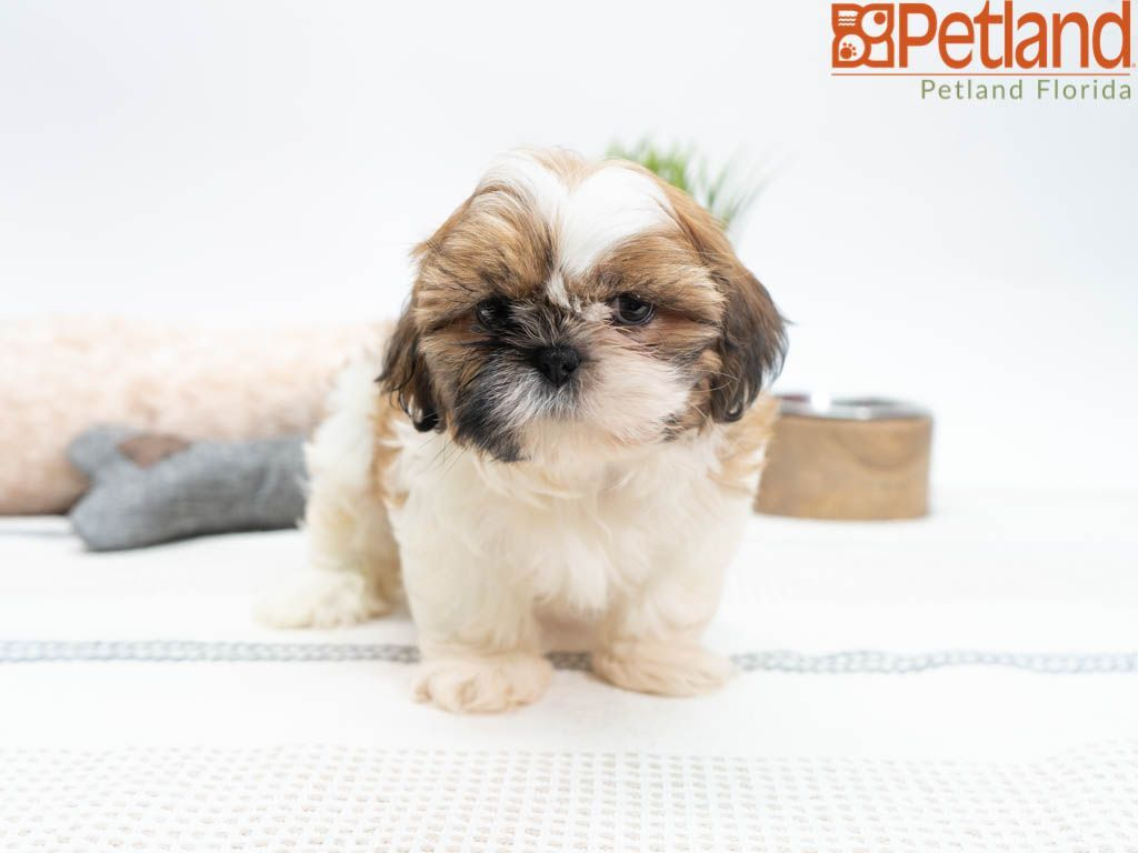 Shih Tzu Puppies Florida For Sale 2021