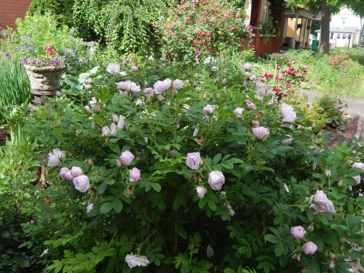 Image Result For Snow Pavement Rose Landscaping Plants Plants Rose