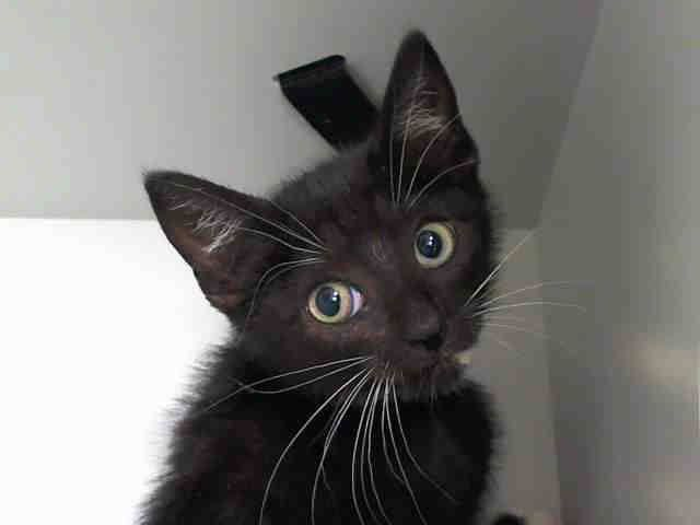 TO BE DESTROYED 7/29/14 Manhattan Center  My name is BOBBIE. My Animal ID # is A1007125. I am a female black and white amer sh mix. The shelter thinks I am about 10 WEEKS old.  I came in the shelter as a STRAY on 07/18/2014 from NY 10465, owner surrender reason stated was STRAY. I came in with Group/Litter #K14-186375.