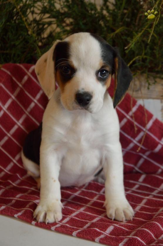 Tonya Beabull Puppy For Sale In Sugarcreek Oh Lancaster