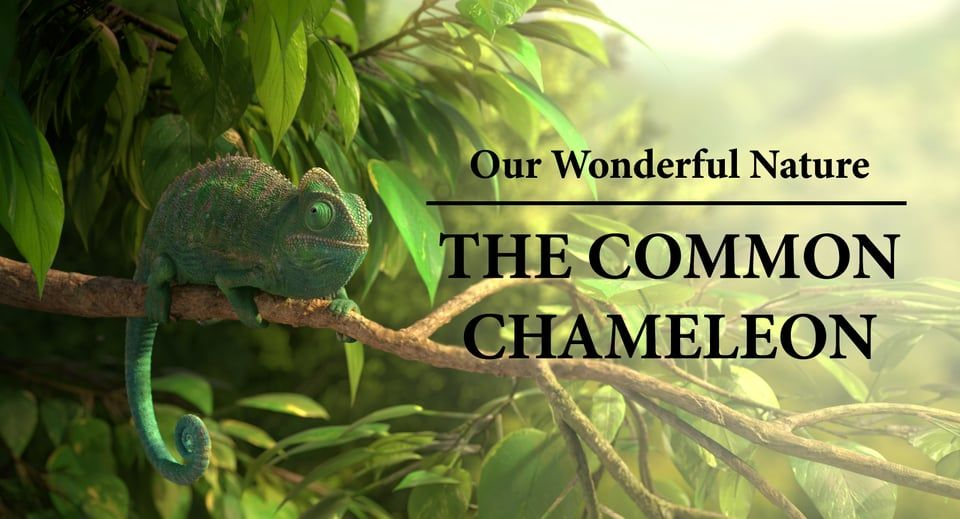 our wonderful nature  the common chameleon on vimeo