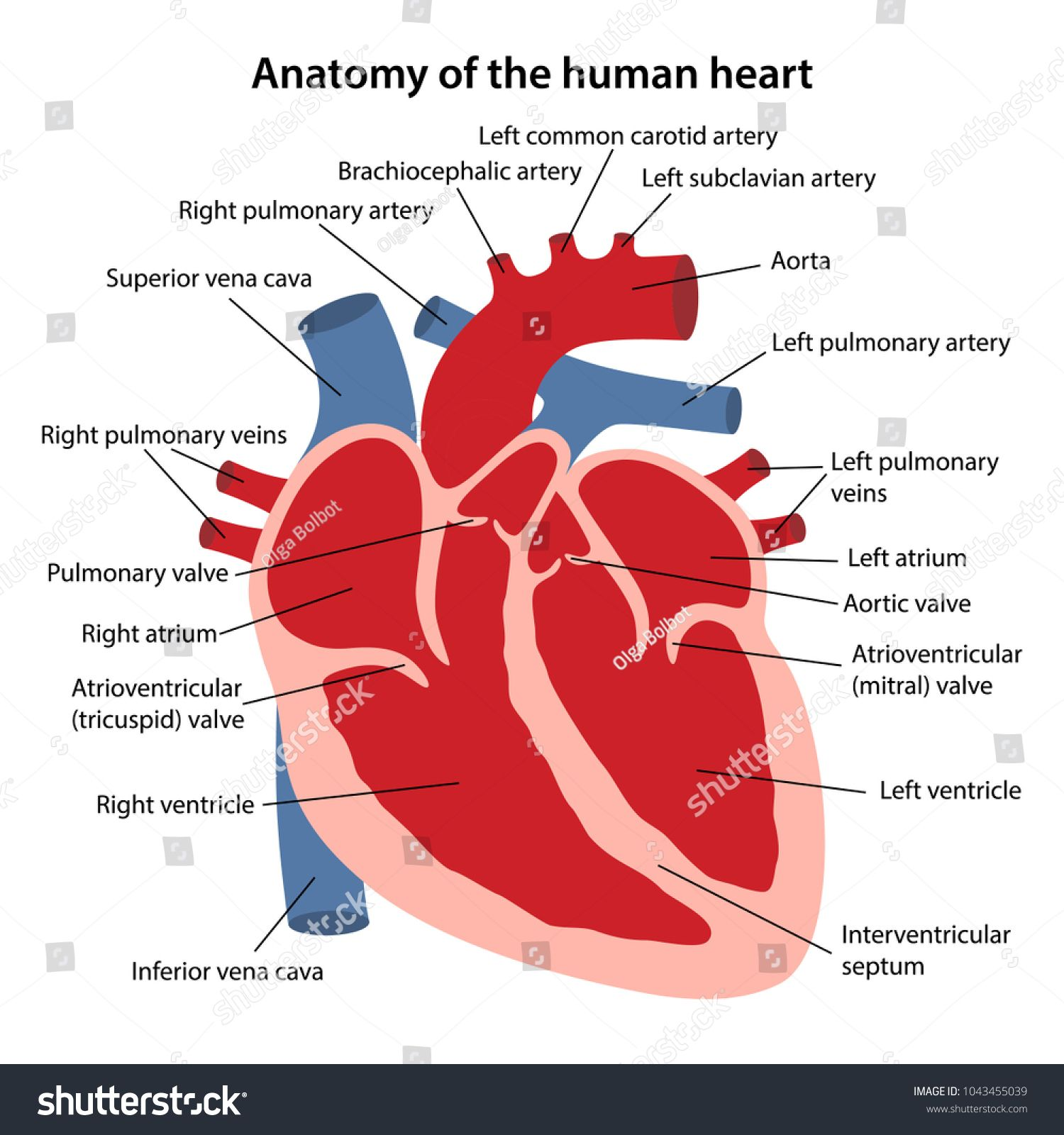 Human Heart Labeled . Human Heart Labeled Anatomy Human ...