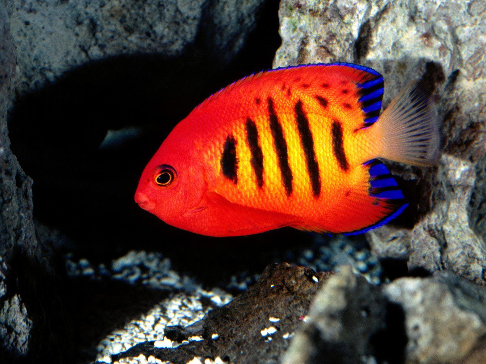 Flame Angelfish - http://imashon.com/w/flame-angelfish.html ...