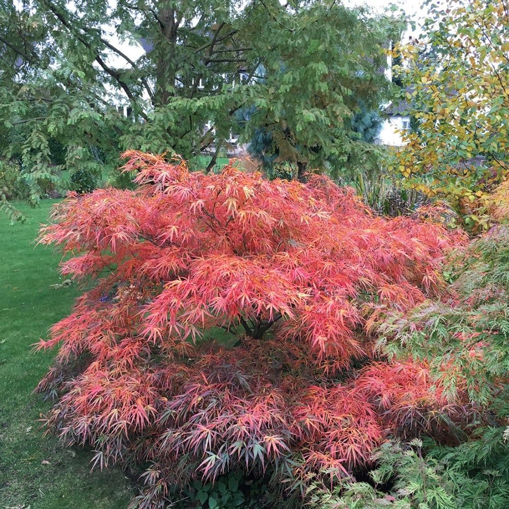 Dwarf Red Japanese Maple Tree Acer Palmatum Red Pygmy Available