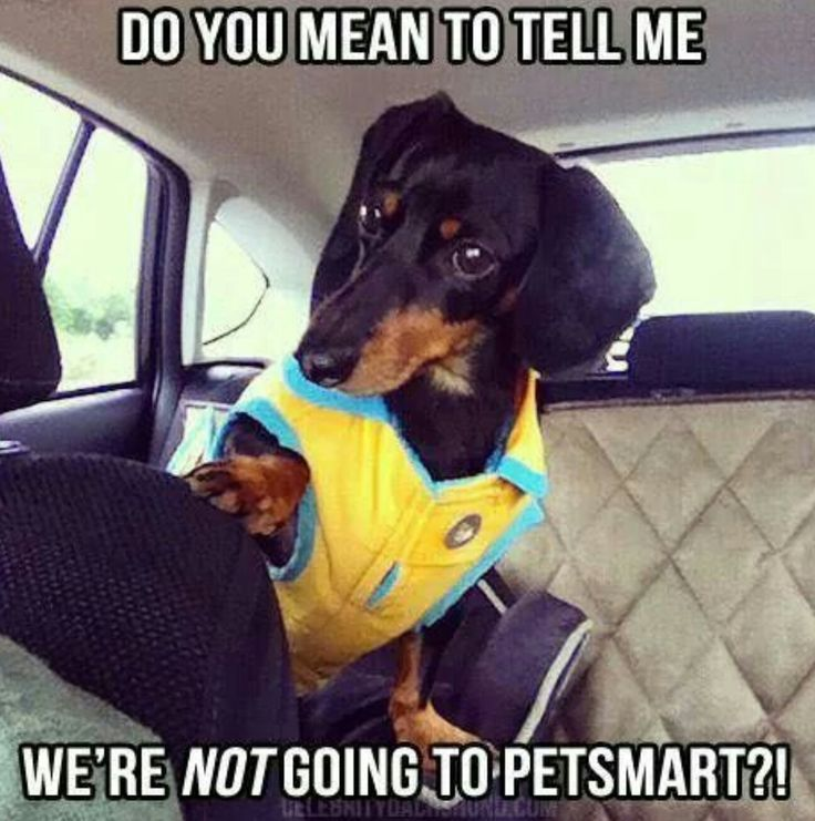 Dachshund Meme Dachshund Puppies Miniature Dachshunds Dog Memes Wiener Dogs Funny Dogs Funny Quotes Pet Dachshund Memes Funny Dachshund Funny Dog Memes