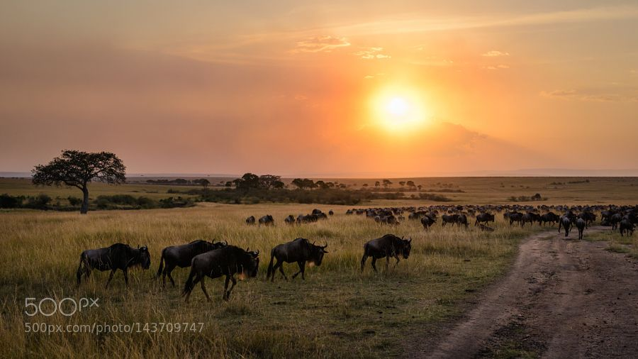 Wildebeest sunset by jonasstenqvist via http://ift.tt/1RC1et3