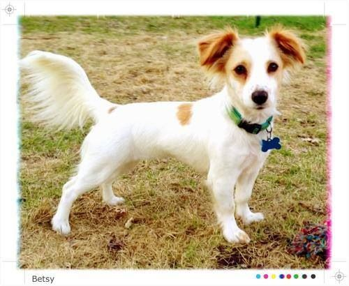 New Hope Mn Lost 7 28 13 Female Jack Russell Mix Https Www