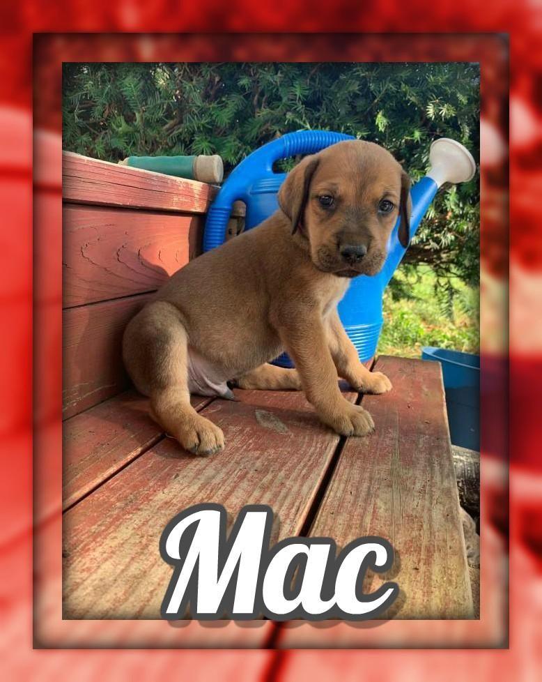 Mac Male Great Golden Dane 750 Great Dane Puppy Dane Puppies Dane