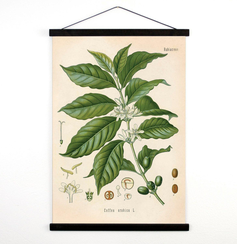Coffee Pull Down Chart - Vintage Botanical Coffea Arabica Diagram ...