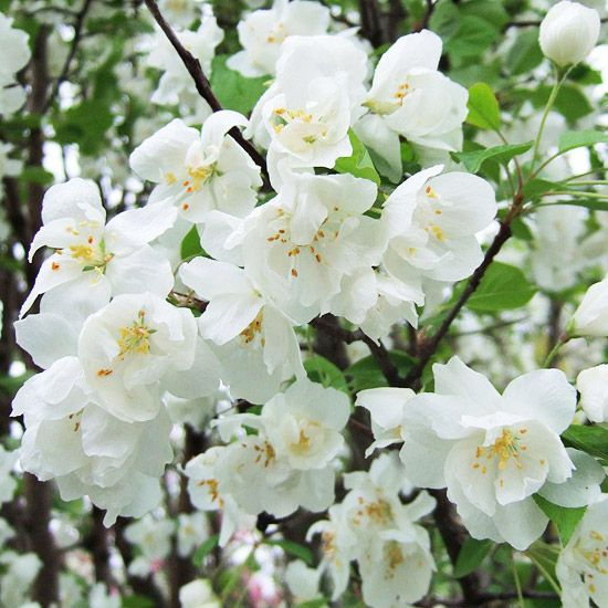 13 Of The Most Colorful Crabapple Trees For Your Yard Crabapple Tree Crab Apple Beautiful Tree