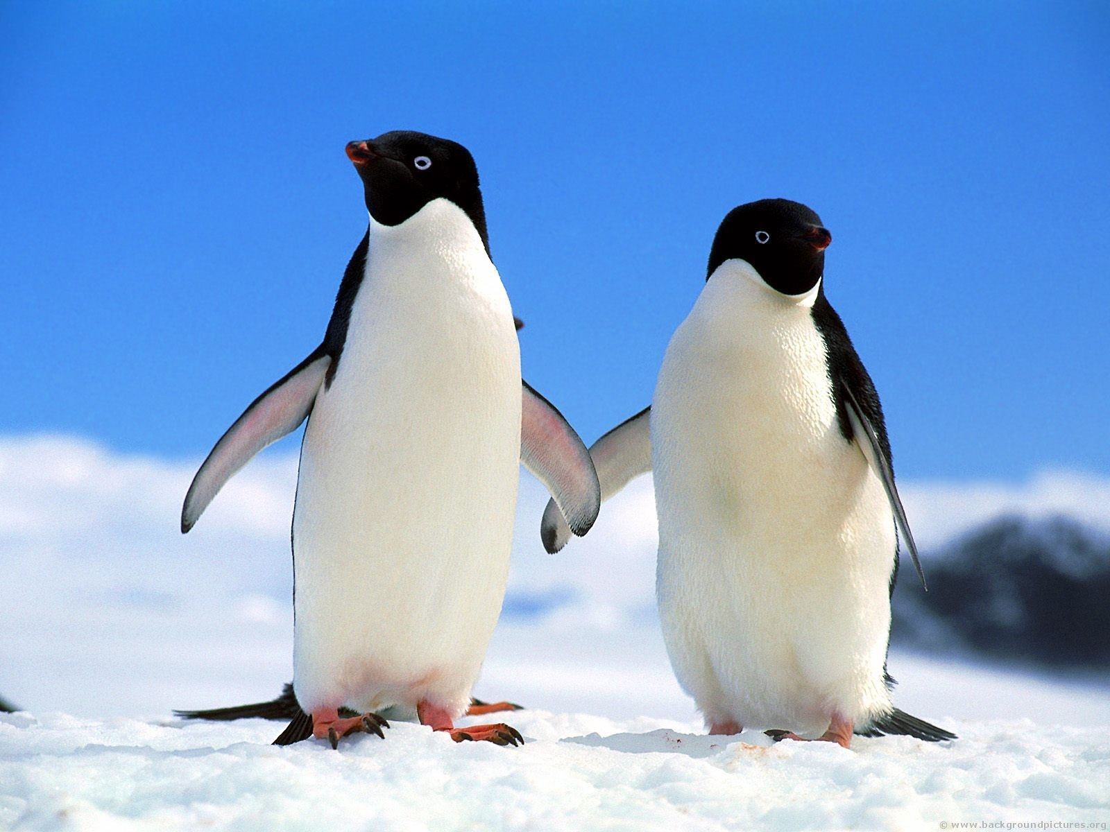 69 best images about Penguins and more Penguins on Pinterest ...