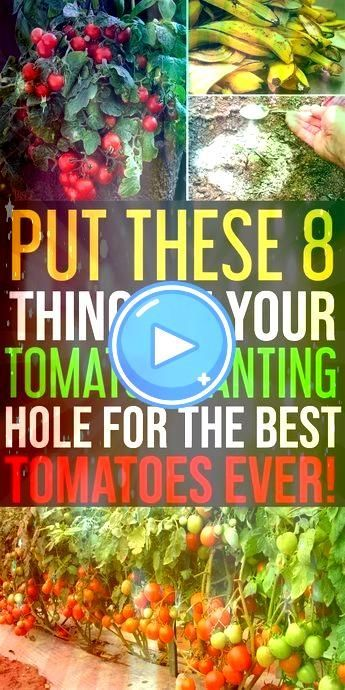 rushing to a store you can have a bumper harvest of tomatoes 8 Things to Keep in Tomato Planting Hole to Grow Juicy and Sweet Tomatoes Who doesnt love to grow surplus tom...