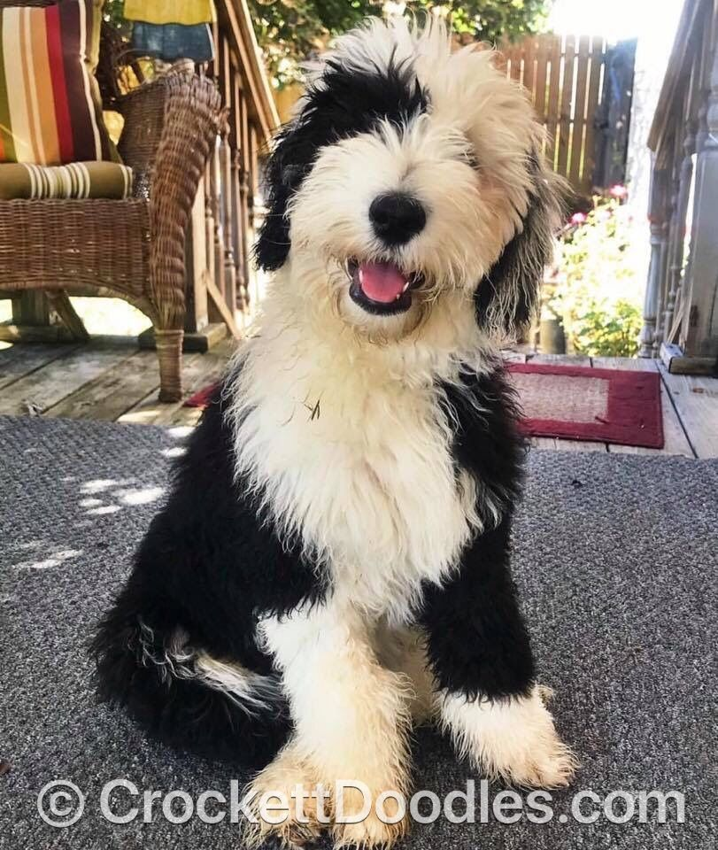 Image Result For Black Sheepadoodle Sheepadoodle Dogs Puppy Love