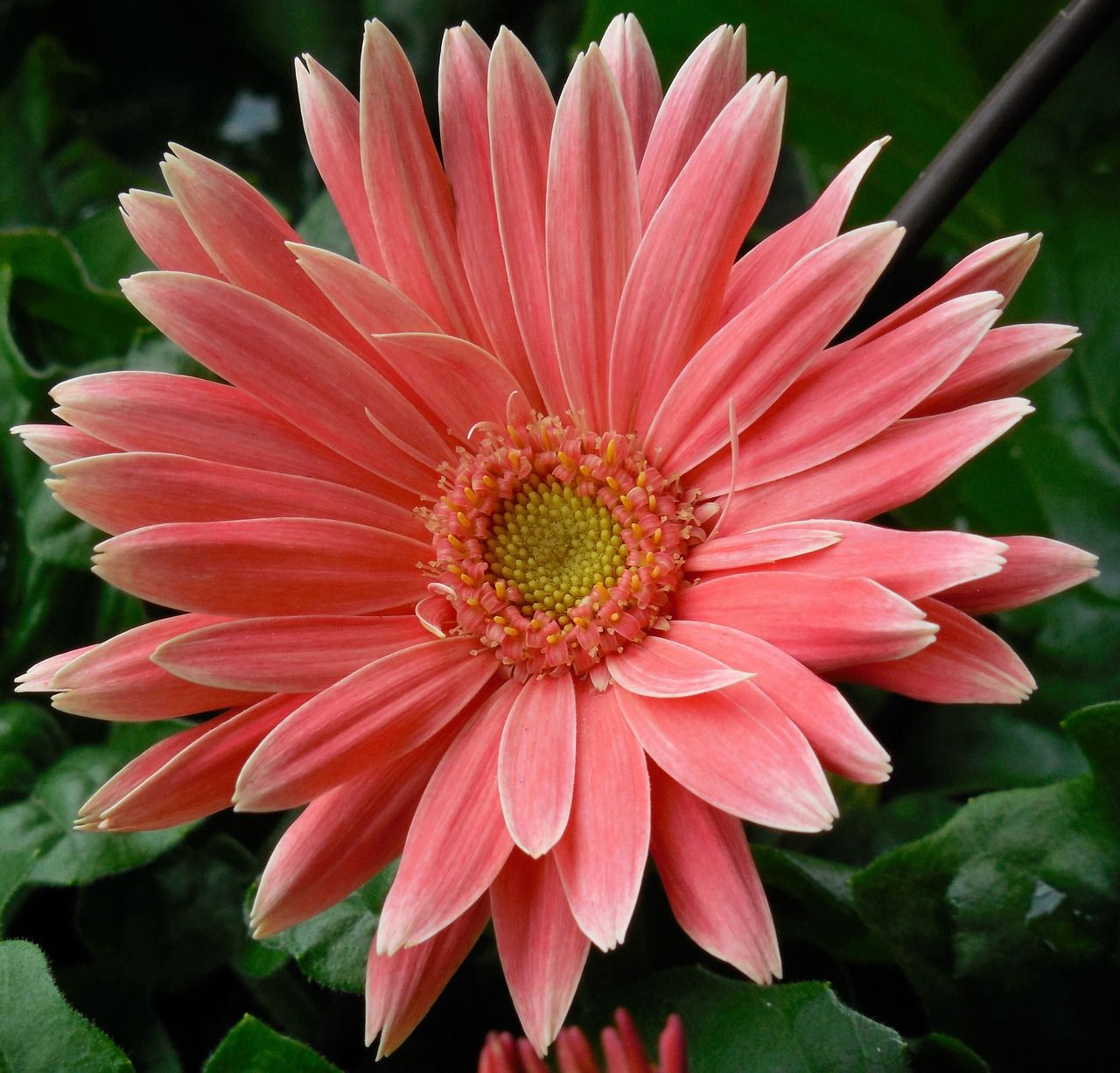 Free Image on Pixabay - Gerbera, Daisy, Flower, Floral, Red ...