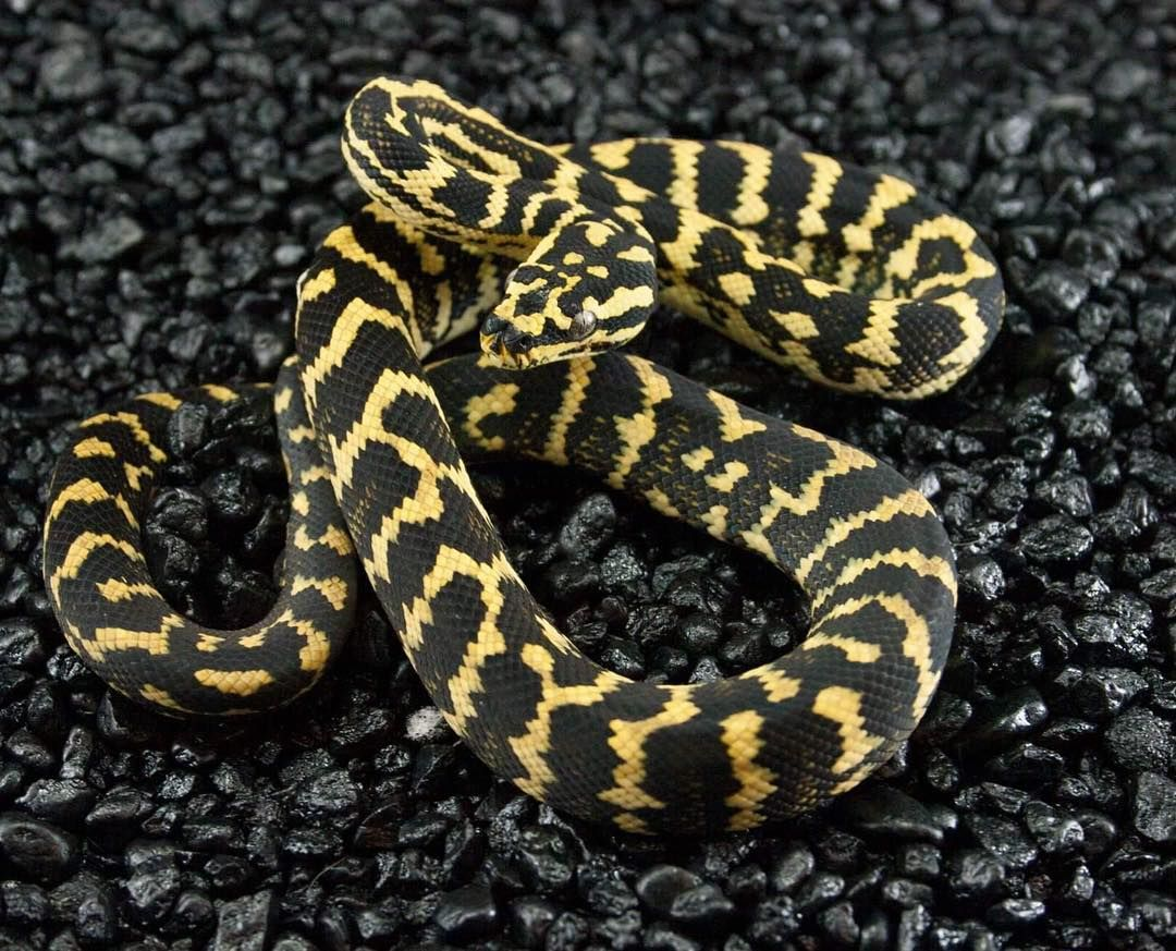 Andrew Paris jungle. This guy is going to be killer! #carpetpython #junglecarpetpython