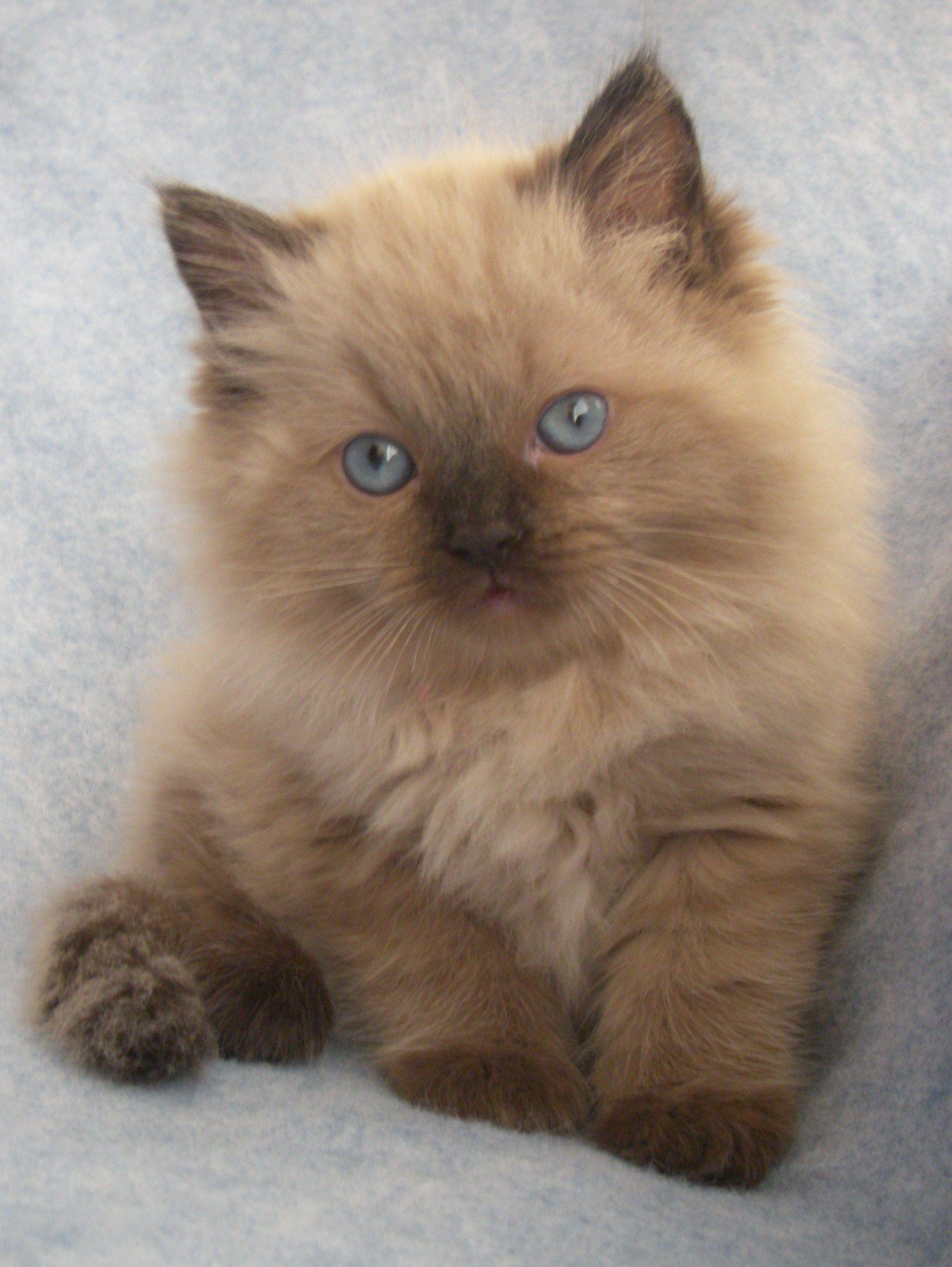 Chocolate ragdoll kitten