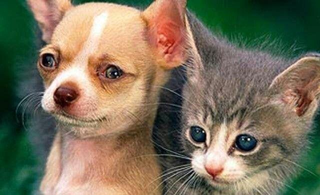 Chi And Kitty Friend Cute Animals Animals Chihuahua