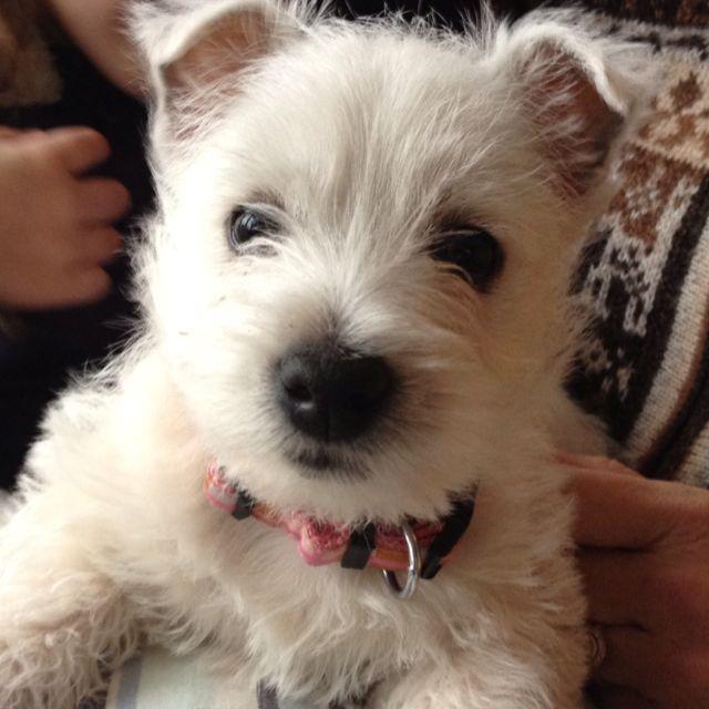 Westie Puppy With Images Westie Puppies Westie Terrier I Love Dogs