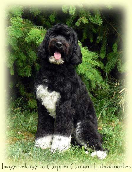 Gorgeous Black And White Tuxedo Labradoodle Named Stella She S