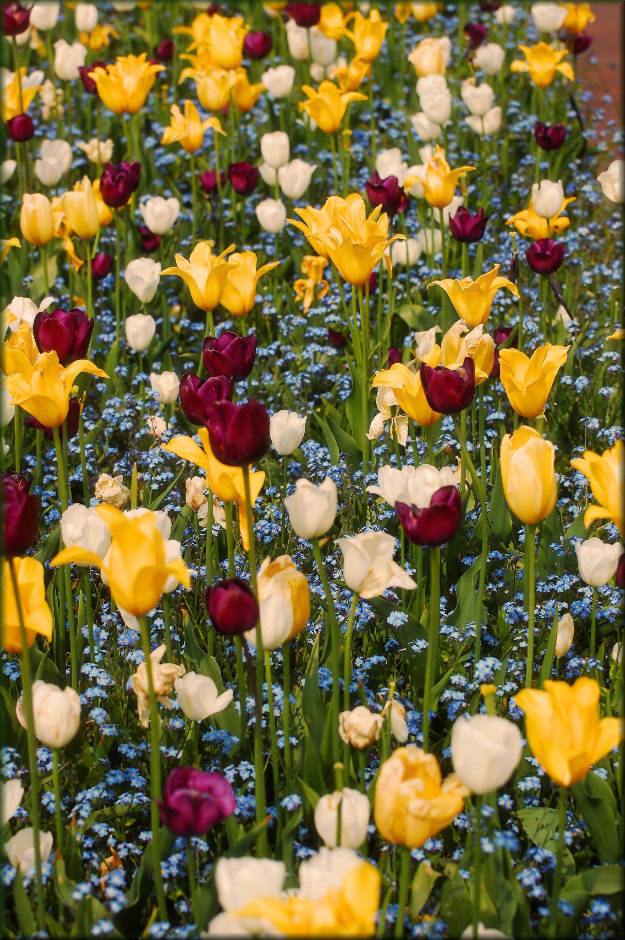 Lovely Tulips Tulips, Flowers, Lovely