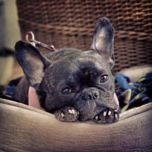 Mylie is an adoptable French Bulldog Dog in St. Paul, MN