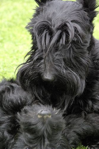 Lucy Scottish Terrier Scottie Terrier Pitbull Terrier