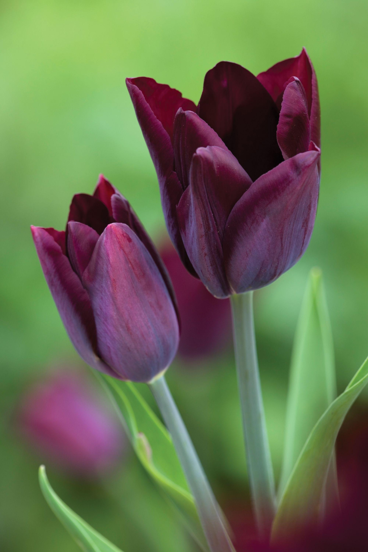 Tulip Havran Gardening Ideas Pinterest Silk Satin Flower