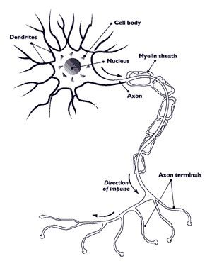 How Exactly Do Neurons Pass Signals Through Your Nervous System Cell Diagram Neuron Diagram Nerve Cell